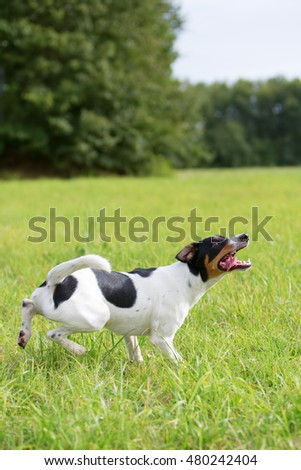 Parson Russell Terrier waits for a ball