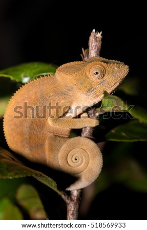 Parson's chameleon (Calumma parsonii) is a large species of chameleon. nocturnal photo. Amber mountain. Madagascar wildlife