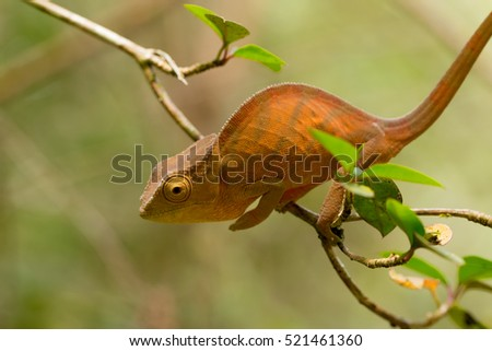 Parson's chameleon (Calumma parsonii) is a large species of chameleon on small branch waiting for insect prey. Amber mountain. Andasibe - Analamazaotra National Park, Madagascar wildlife