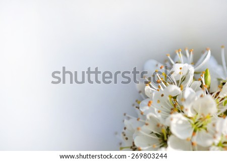 part of a cherry tree  blossom bouquet on vaporous background - stock photo