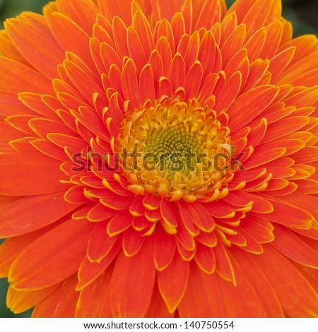 Part of Orange Gerbera - stock photo