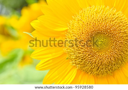 part of sunflower