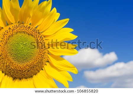 part of sunflower and blue sky - stock photo