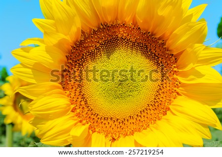 part of sunflower close up - stock photo