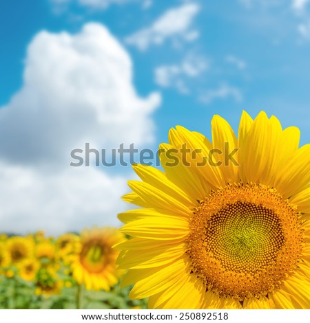 part of sunflower close up and blue cloudy sky. soft focus - stock photo