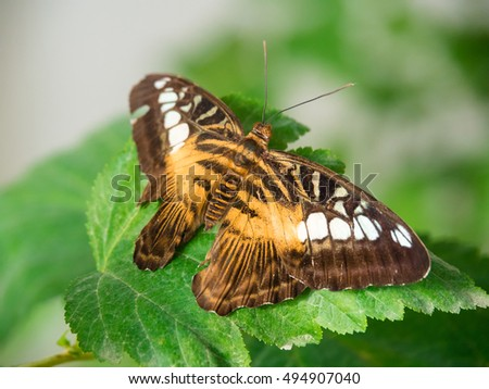 Parthenos sylvia - Clipper Butterfly