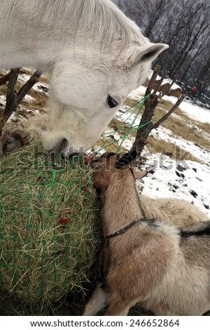 Parti-goat and white horse eating hay from the net. Winter on the Farm. - stock photo