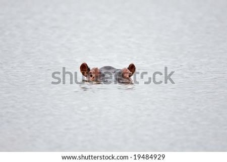 Partial hippo face showing above water; Hippopotamus amphibius; South Africa - stock photo
