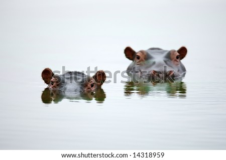 Partial Hippo faces showing above smooth water; Hippopotamus amphibius; South Africa - stock photo