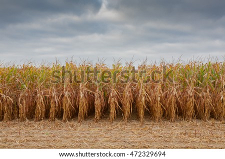 Partially harvested corn field in the fall.