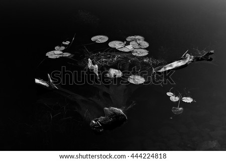 Partially submerged driftwood with lillypads in black and white.