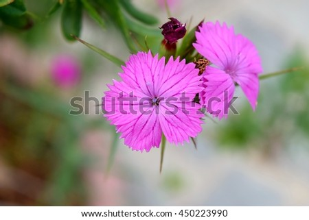 particularly of a carnation wild flower