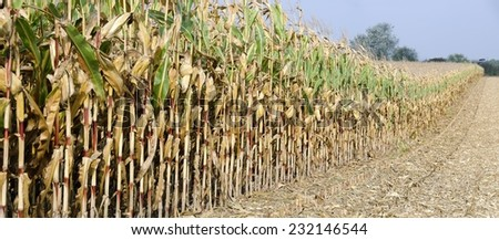 partly harvested corn field - stock photo