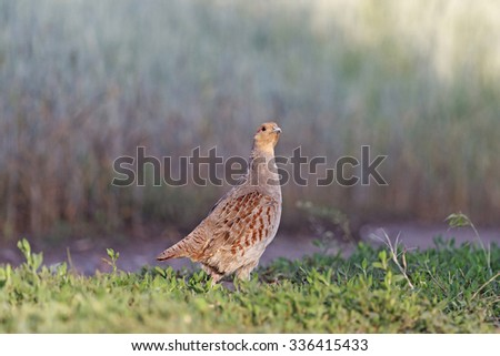 Partridge and wheat/Grey partridge