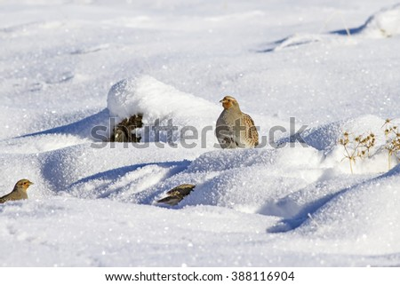 Partridge on white snow background Grey Partridge / Perdix perdix