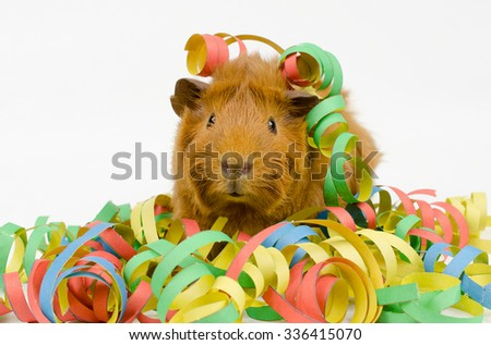 party pig (baby short haired peruvian guinea pig) - stock photo