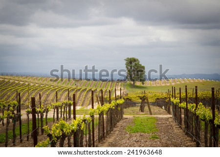 Paso Robles vineyard - stock photo