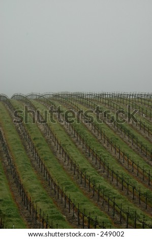Paso Robles vineyard in the fog - stock photo