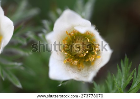 pasque flower - stock photo