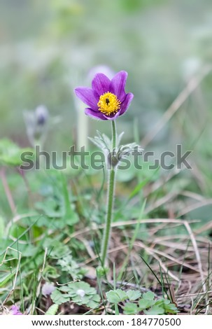 Pasque Flower (Pulsatilla patens) in springtime. Shallow DOF - stock photo