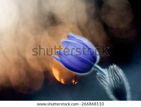 Pasque flower with sunlight in the dark forest - stock photo