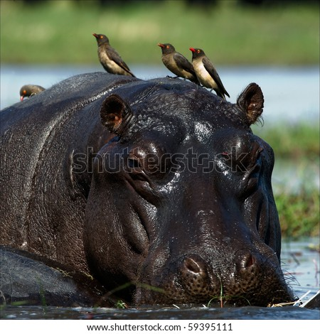 Passengers. The hippopotamus sits in a bog and on his back birds were attached. - stock photo
