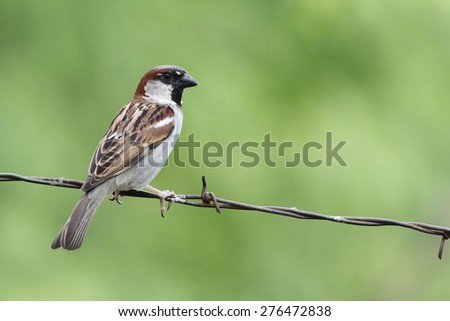 passer domesticus perched on a barbed wire  - stock photo