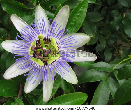 Passion Flower bloom macro off center with room for text