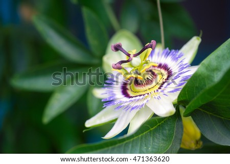 Passion flower closeup