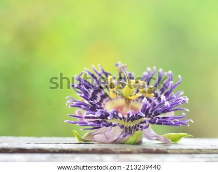 Passion Flower or Passiflora laurifolia Linn - stock photo