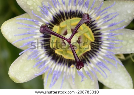 Passion flower with water drops closeup - stock photo