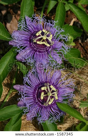 Passion Flowers - stock photo