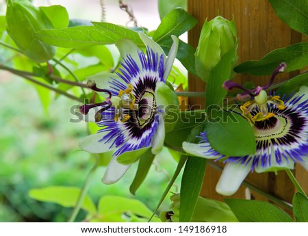 passion flowers in the garden - stock photo