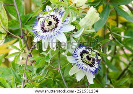 Passion flowers with green background - stock photo