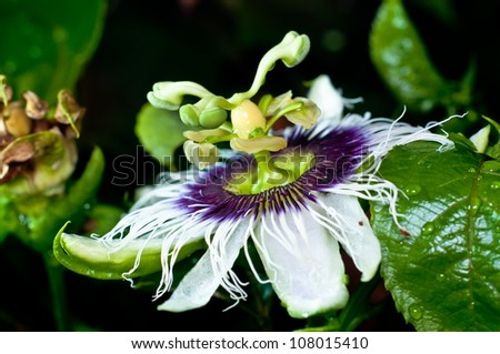 Passion Fruit Flower Closed-up - stock photo