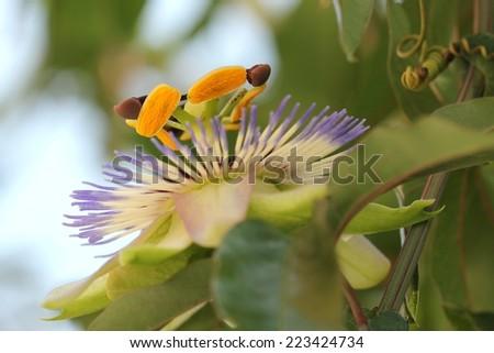 Passionflower - stock photo