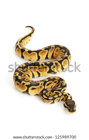 Pastel Ball Python (Python regius) isolated on white background.