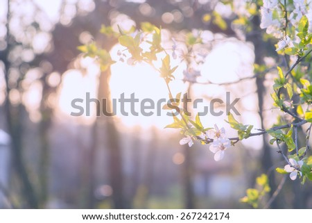 Pastel colored photo of cherry blossoms - stock photo