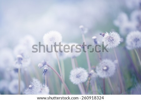 Pastel colored photo of dandelion field in sunset - stock photo
