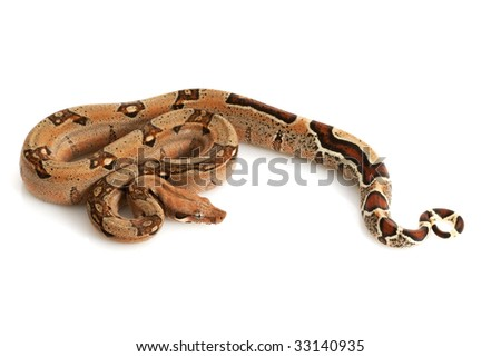 Pastel Jungle Columbian Red-tailed Boa (B. c. constrictor) isolated on white background.