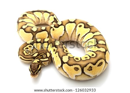 Pastel lesser platinum ball python (Python regius) isolated on white background.