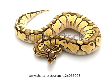 Pastel lesser platinum ball python (Python regius) isolated on white background. - stock photo