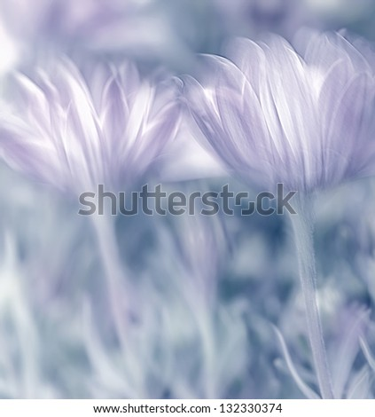Pastel photo with soft focus of beautiful tender daisy flowers, spring time nature - stock photo