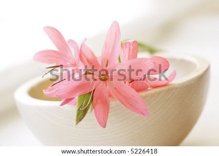pastel pink kaffir lily in a bowl
