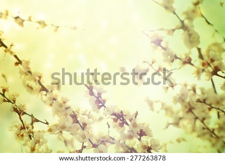 Pastel tones. Flowers of the cherry blossoms on a spring day - stock photo