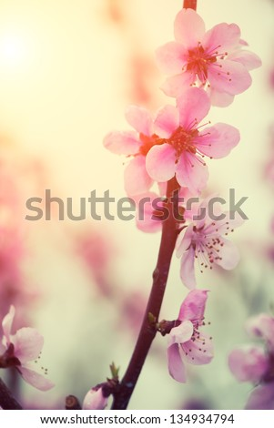 Pastel tones Spring blossom close-up with sun shining - stock photo