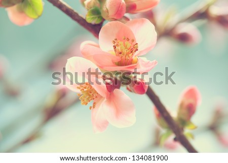 Pastel tones Spring blossom macro - stock photo