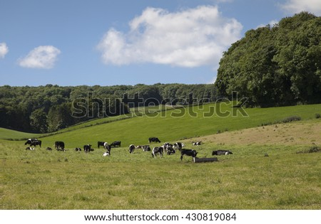 Pastoral landscape showing cows in a field in Hampshire on a sunny summer day with green fields, trees and blue skies with clouds.