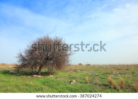Pastoral spring landscape with lonely tree. Low Galilee, Israel.