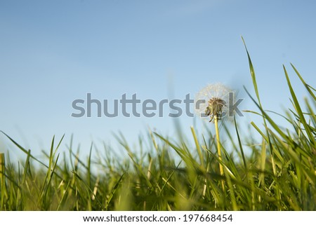 Pasture close-up under blue sky, lush green grass and dandelion seed head. - stock photo